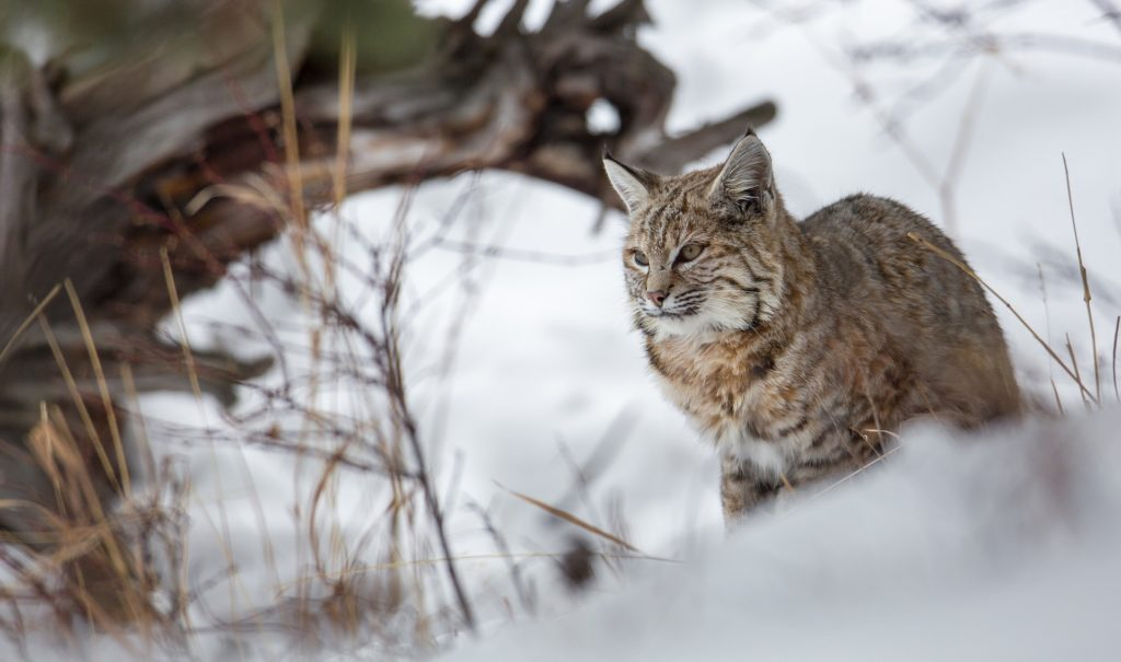 bobcat in snow sitting