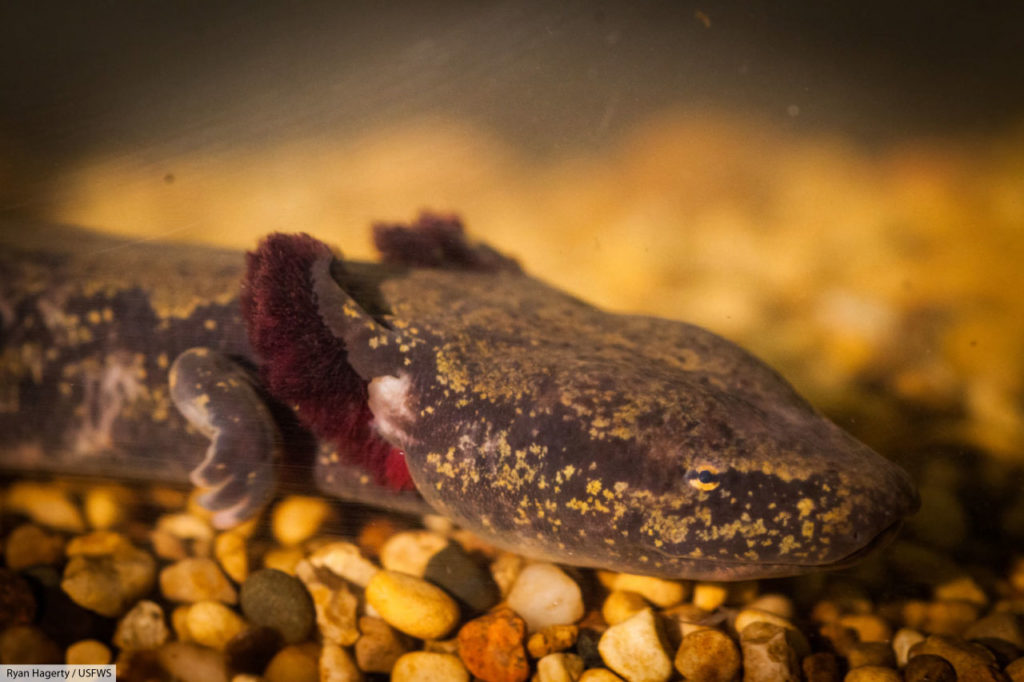 common mudpuppy