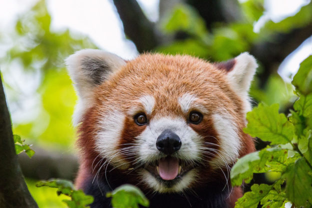 Image of: Endangered Species Red Panda Facts Pictures Information Discover An Endangered Asian Mammal With Misleading Name Active Wild Red Panda Facts Pictures Information The Panda That Isnt Panda