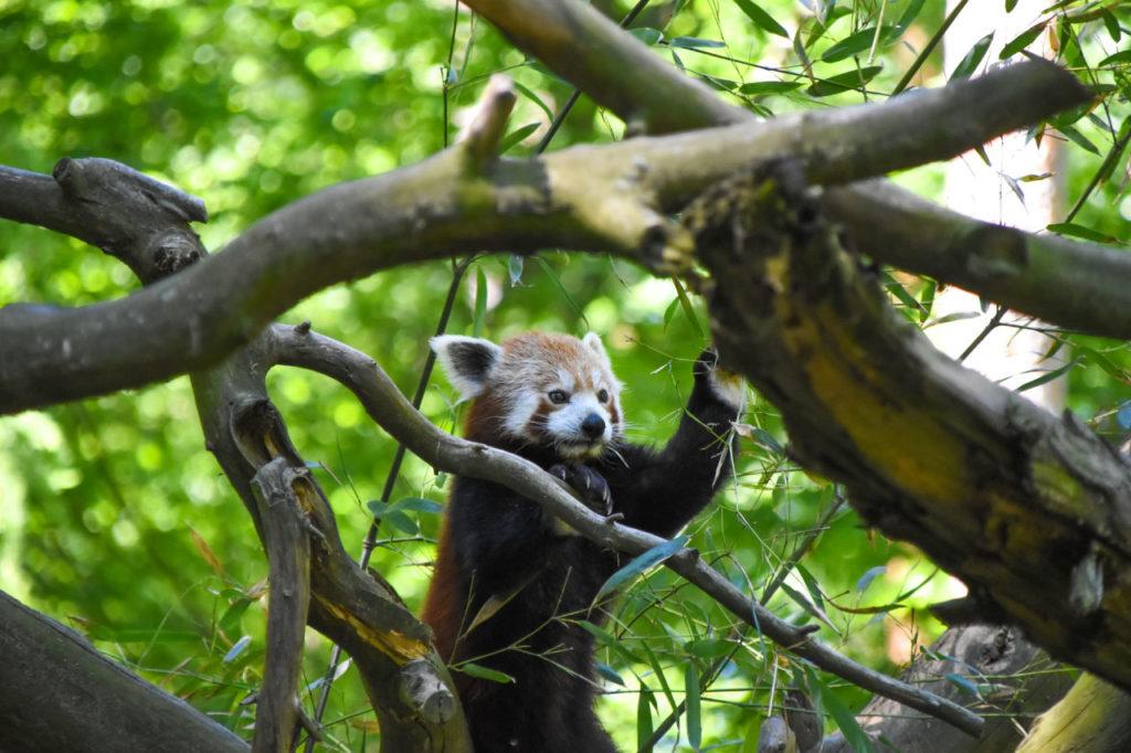 red panda habitat