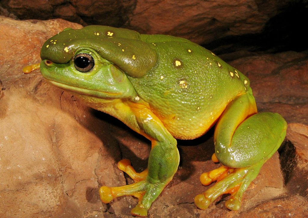 Magnificent Tree Frog