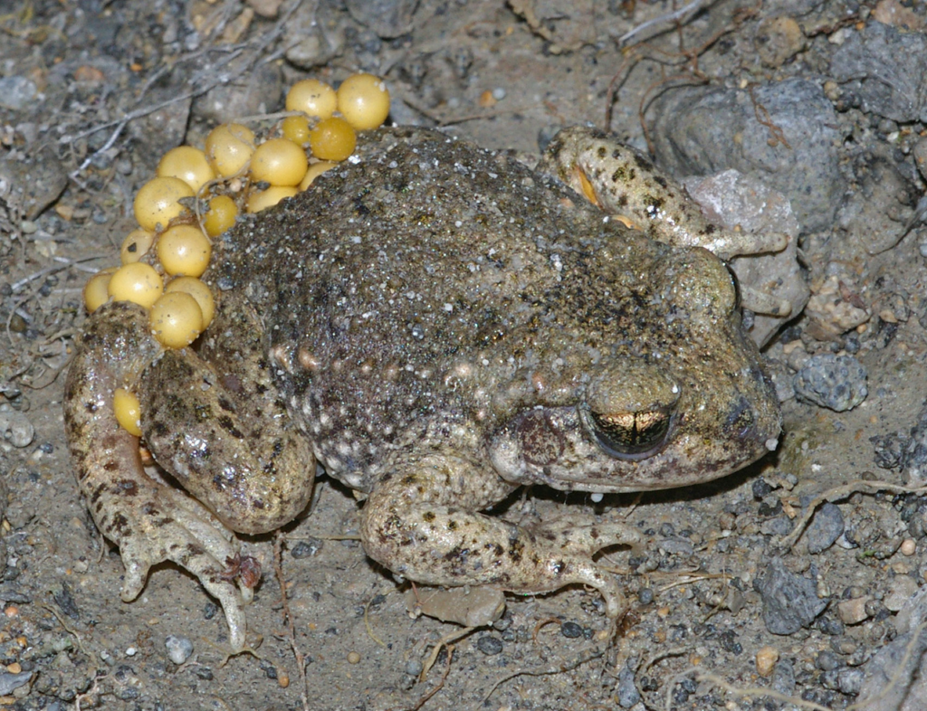 Midwife Toad With Eggs
