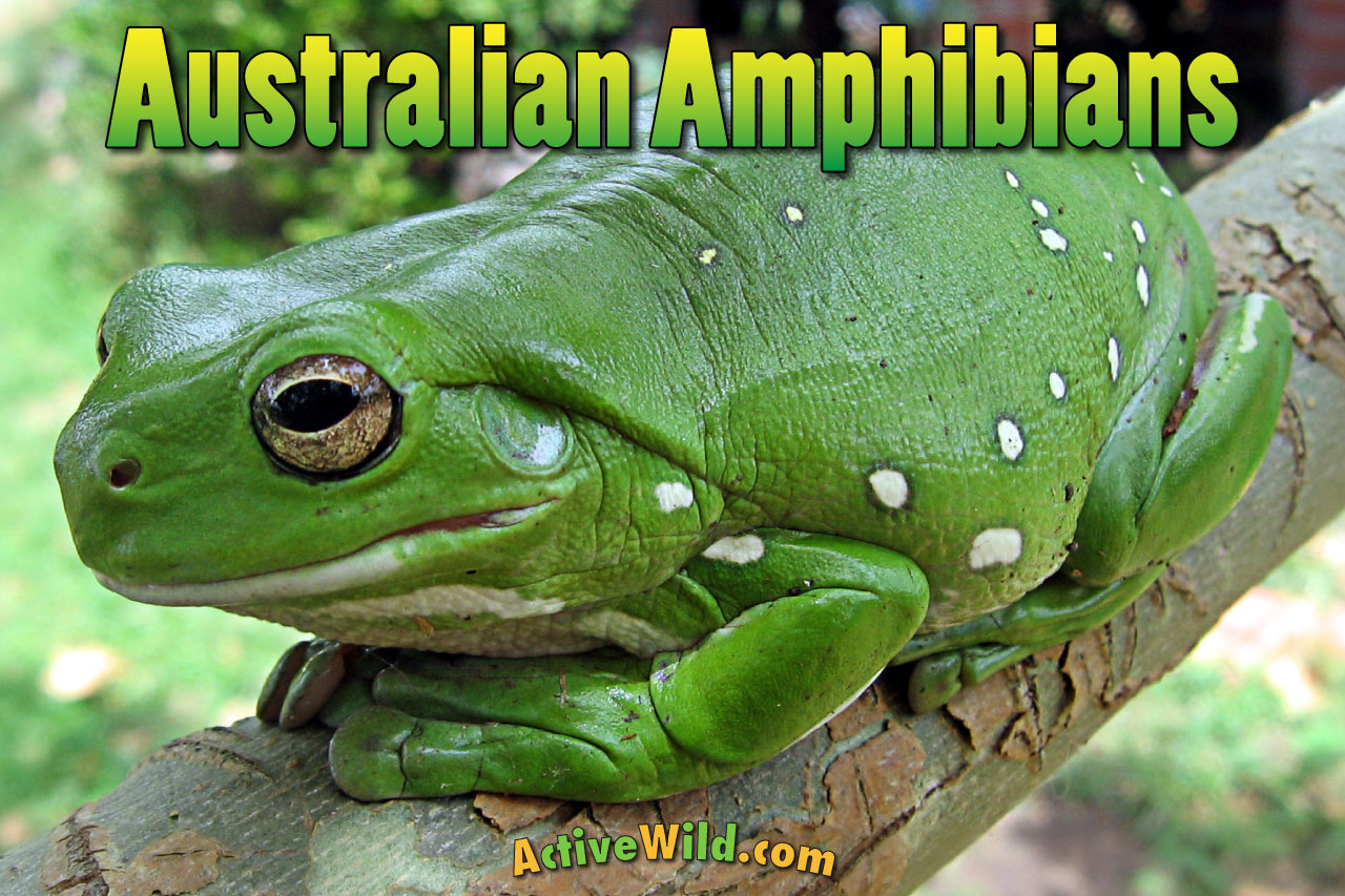 Amphibians Australia