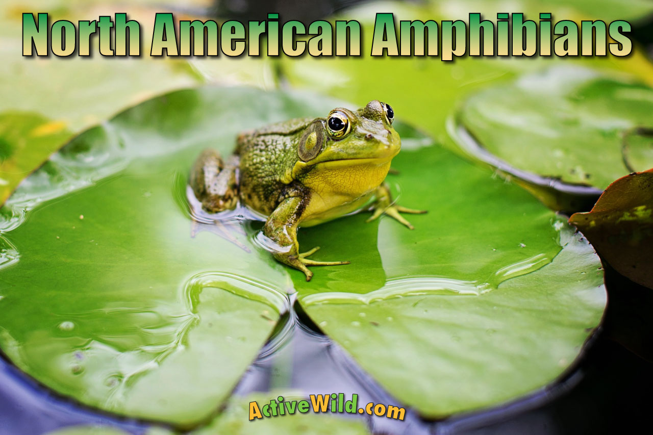 Amphibians North America