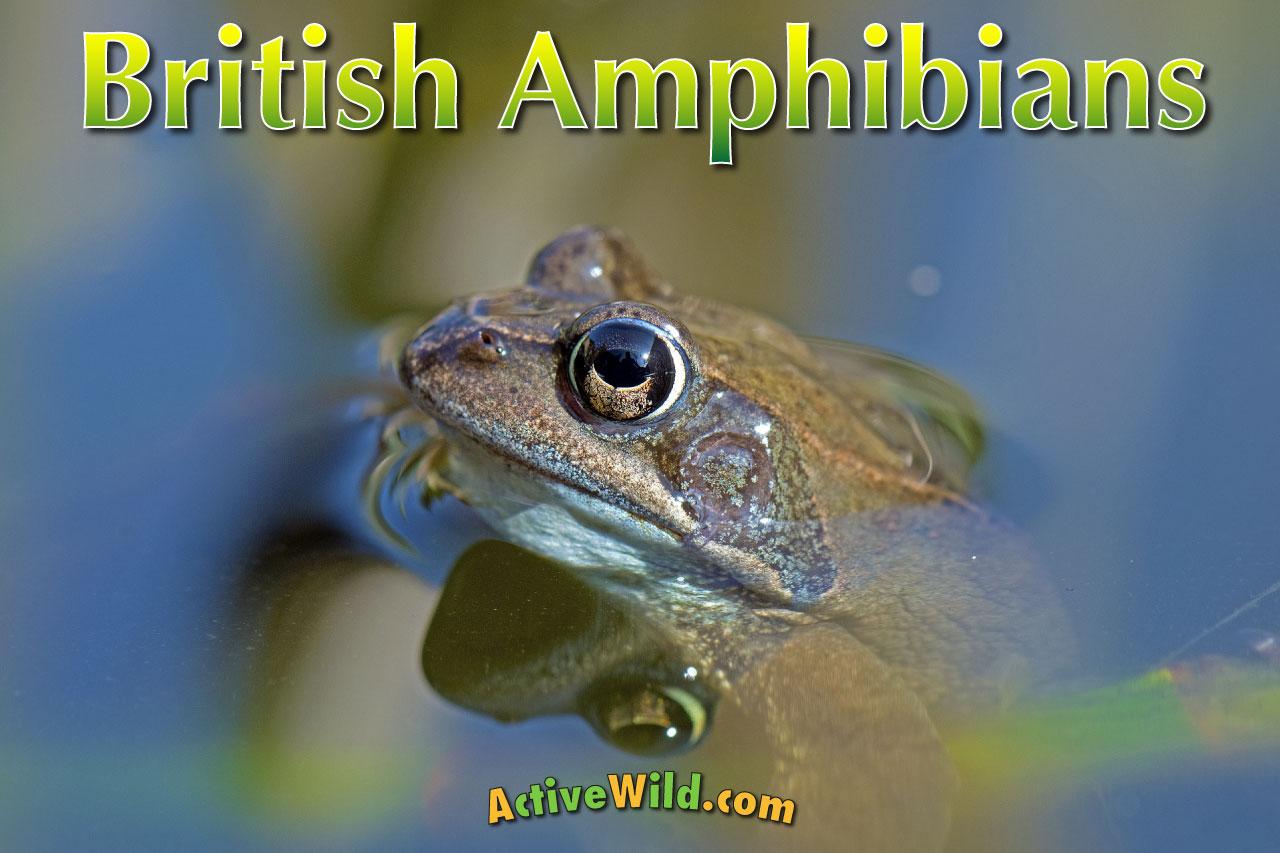 Amphibians in Britain