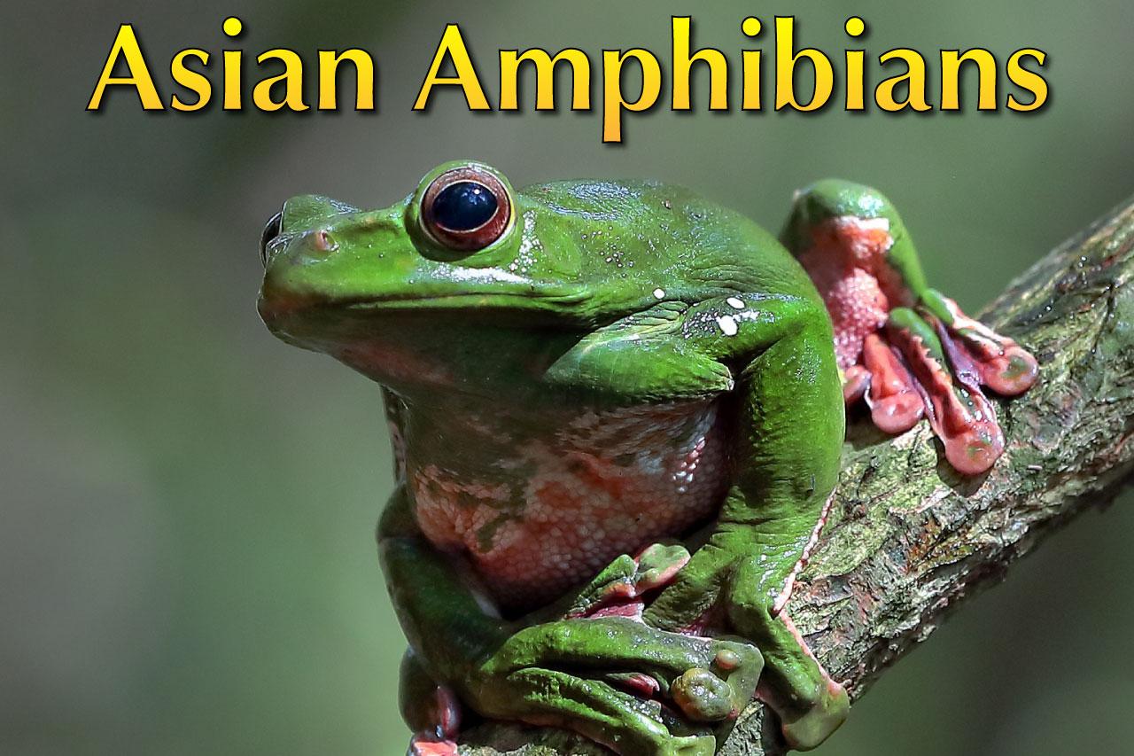 Amazing Asian Amphibians List