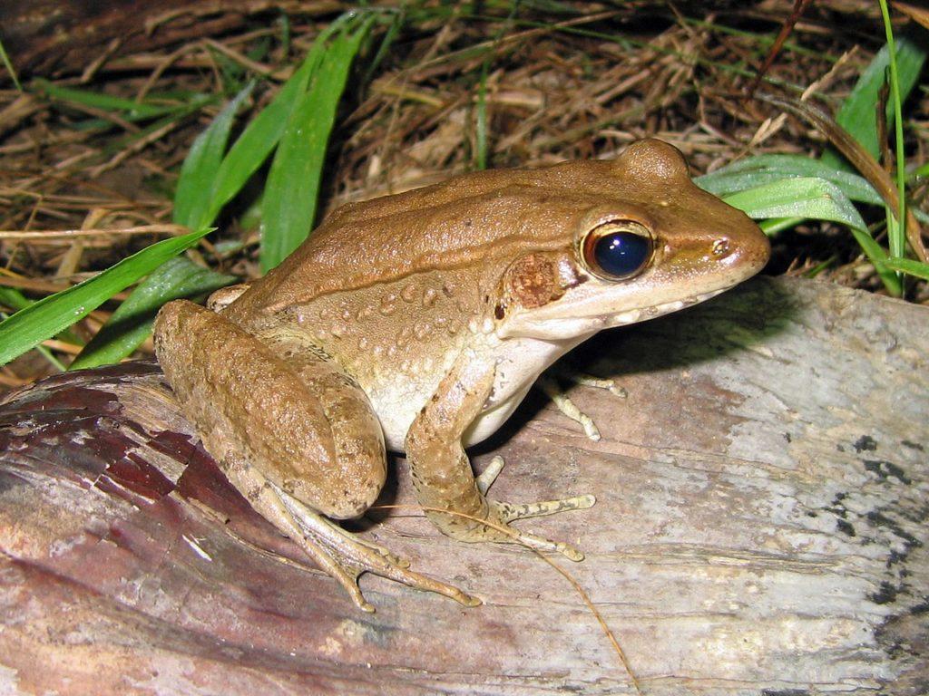 Australian Wood Frog