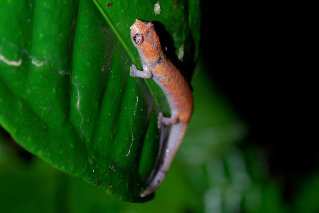 Nauta Salamander