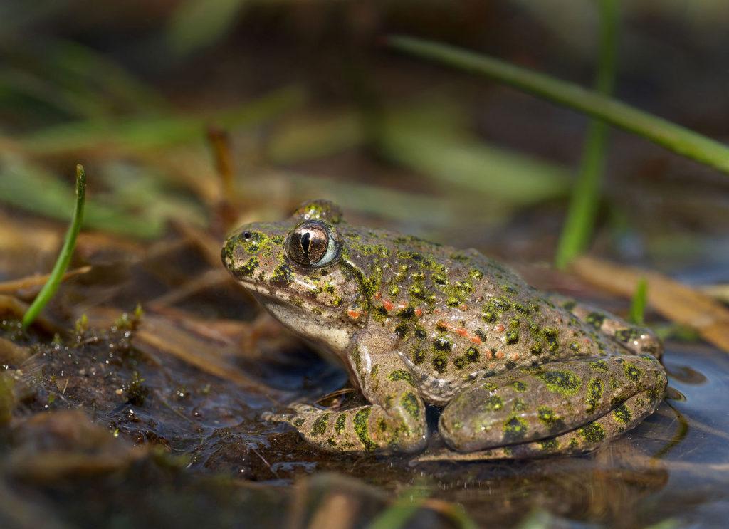 Common Parsley Frog