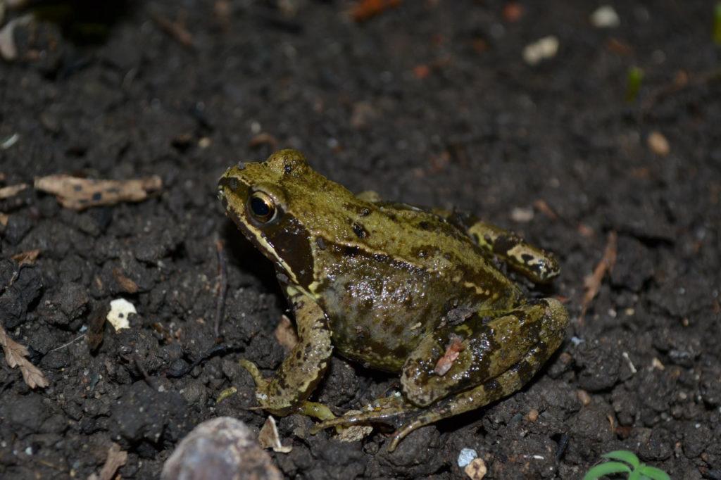 European common frog habitat