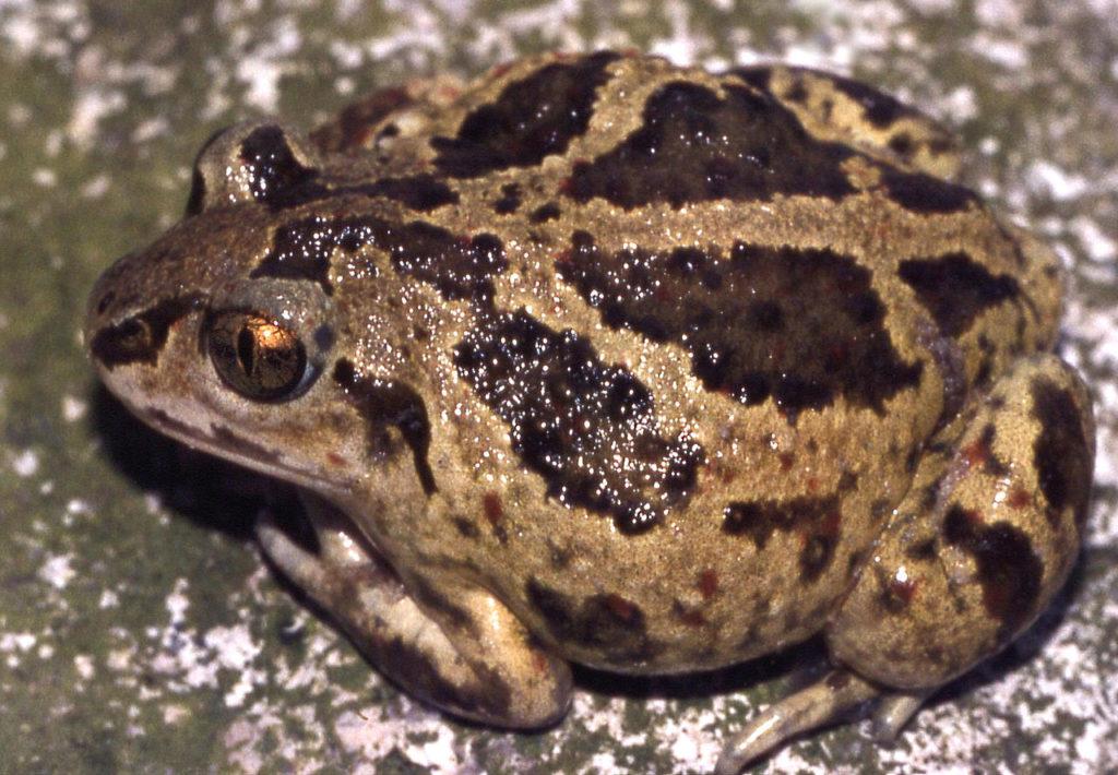 Garlic Toad