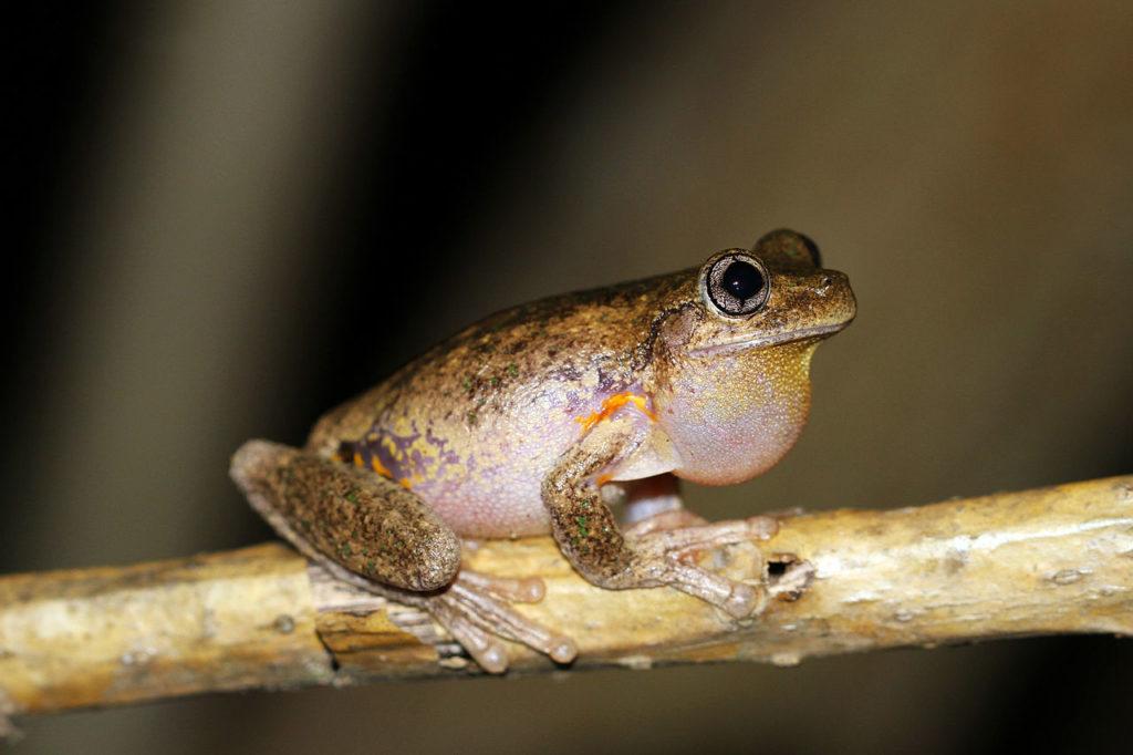 Peron's Tree Frog