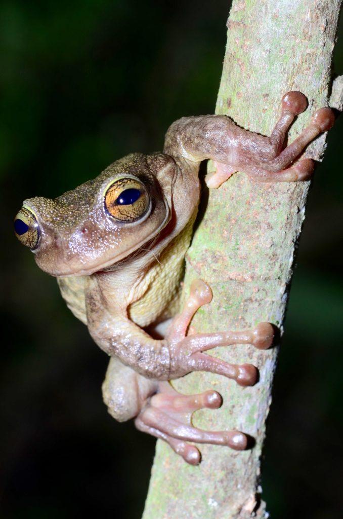 Spikethumb frog