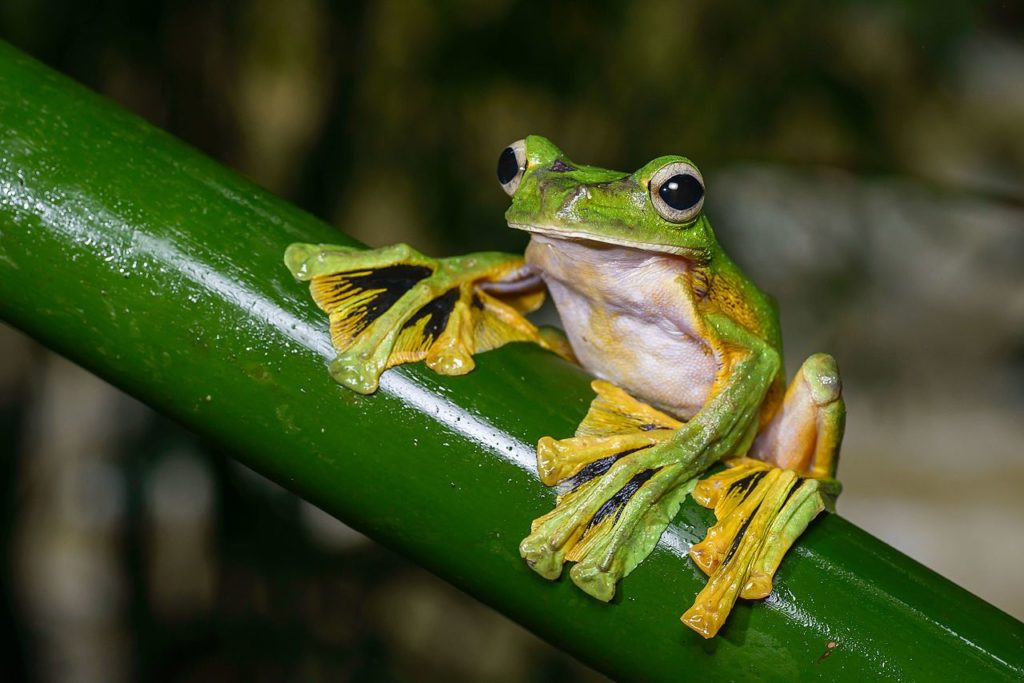 Wallaces Flying Frog Facts Picture Video In Depth Information