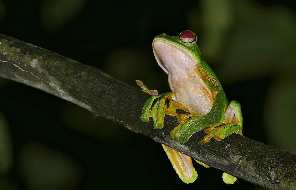Wallace's flying frog undersides