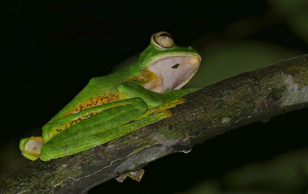 Wallace's flying frog on branch
