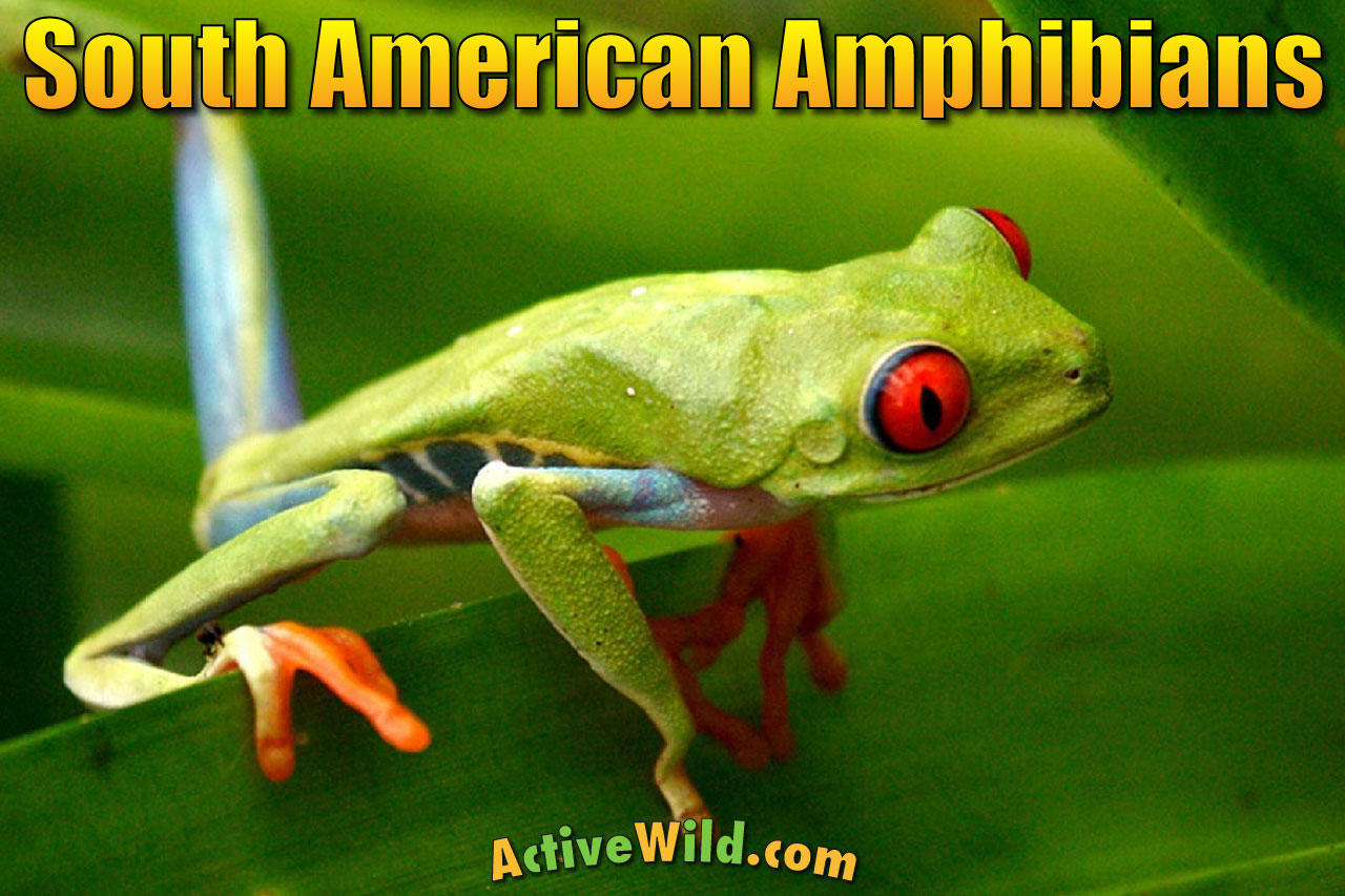 amphibians south america list