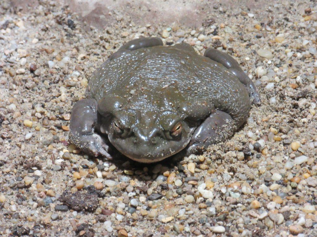 Colorado Toad American Amphibian