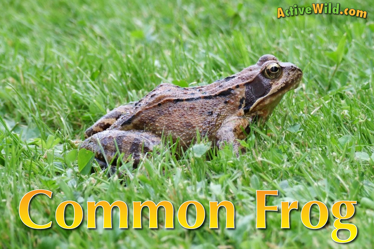 common frog facts