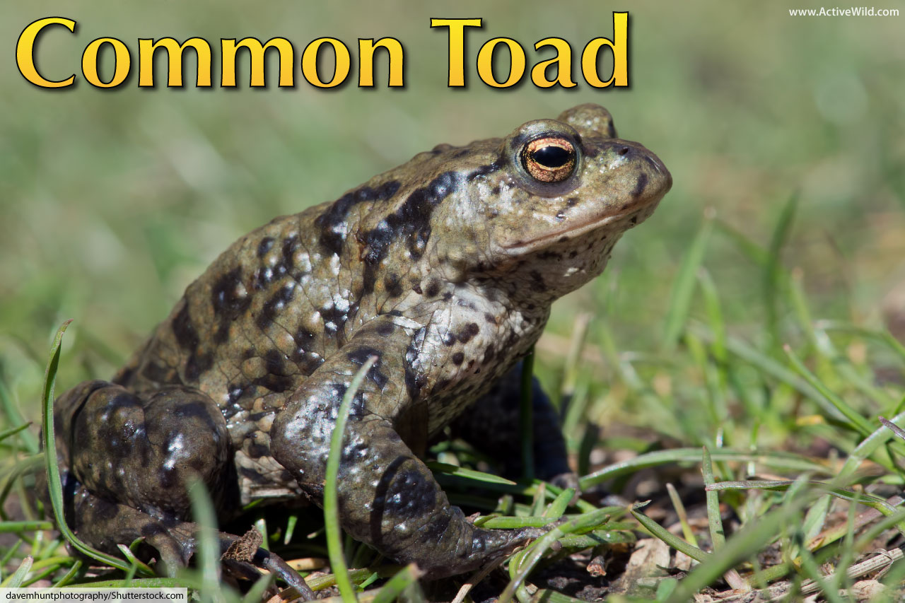 common toad facts