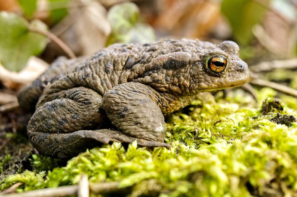 common toad in undergrowth