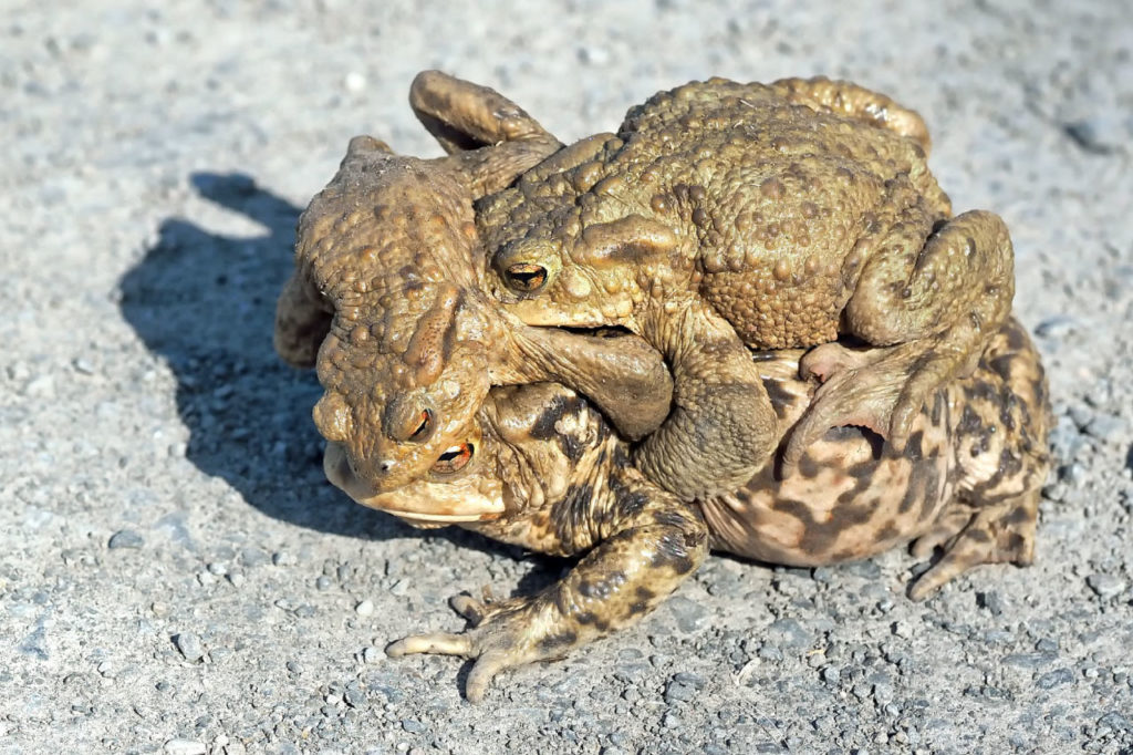 common toads mating