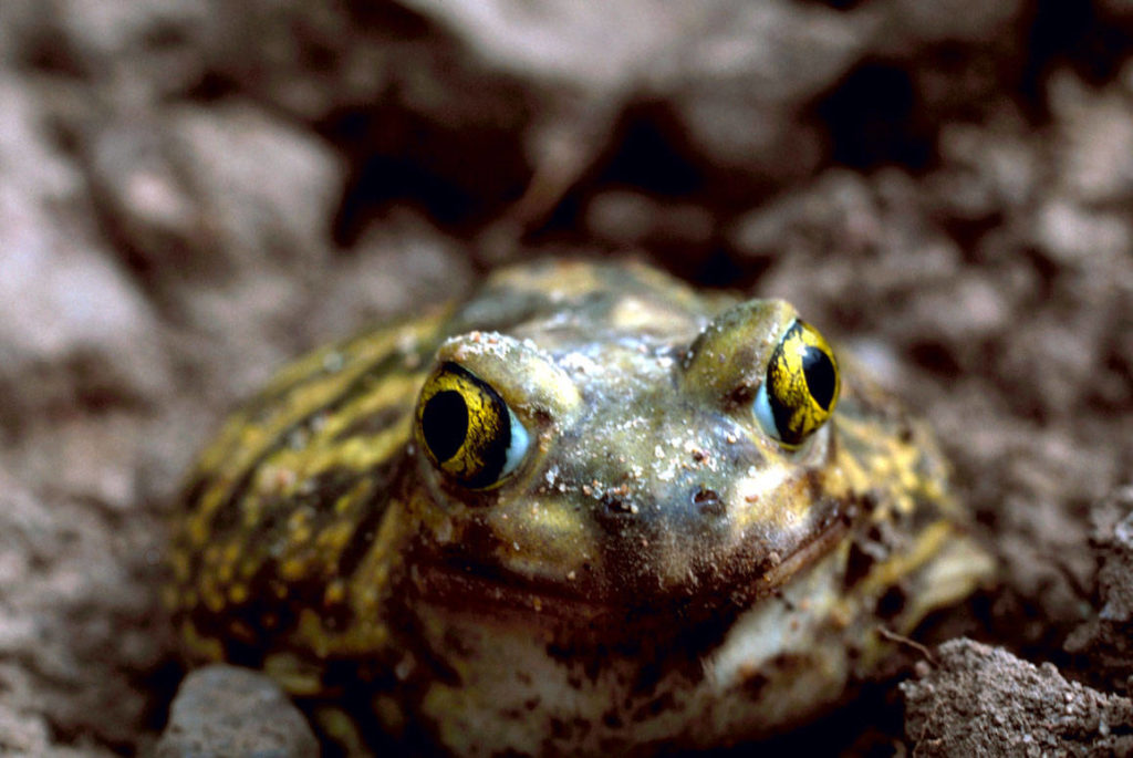 couchs-spadefoot-toad