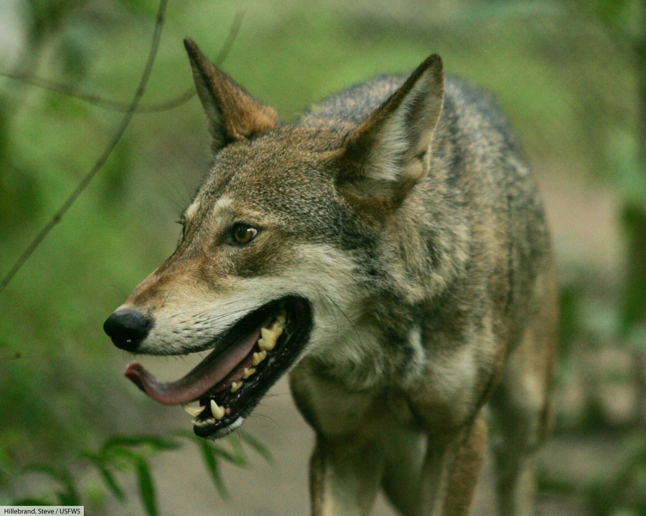 red wolf close up