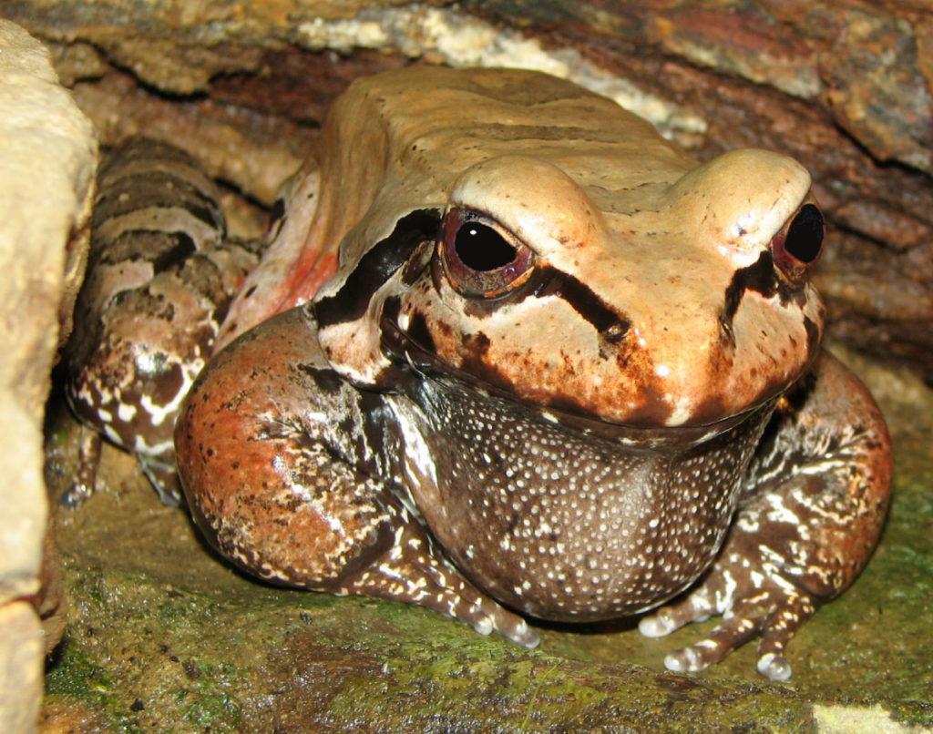 South American Bullfrog