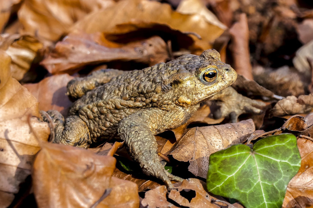 toad in leaf litter
