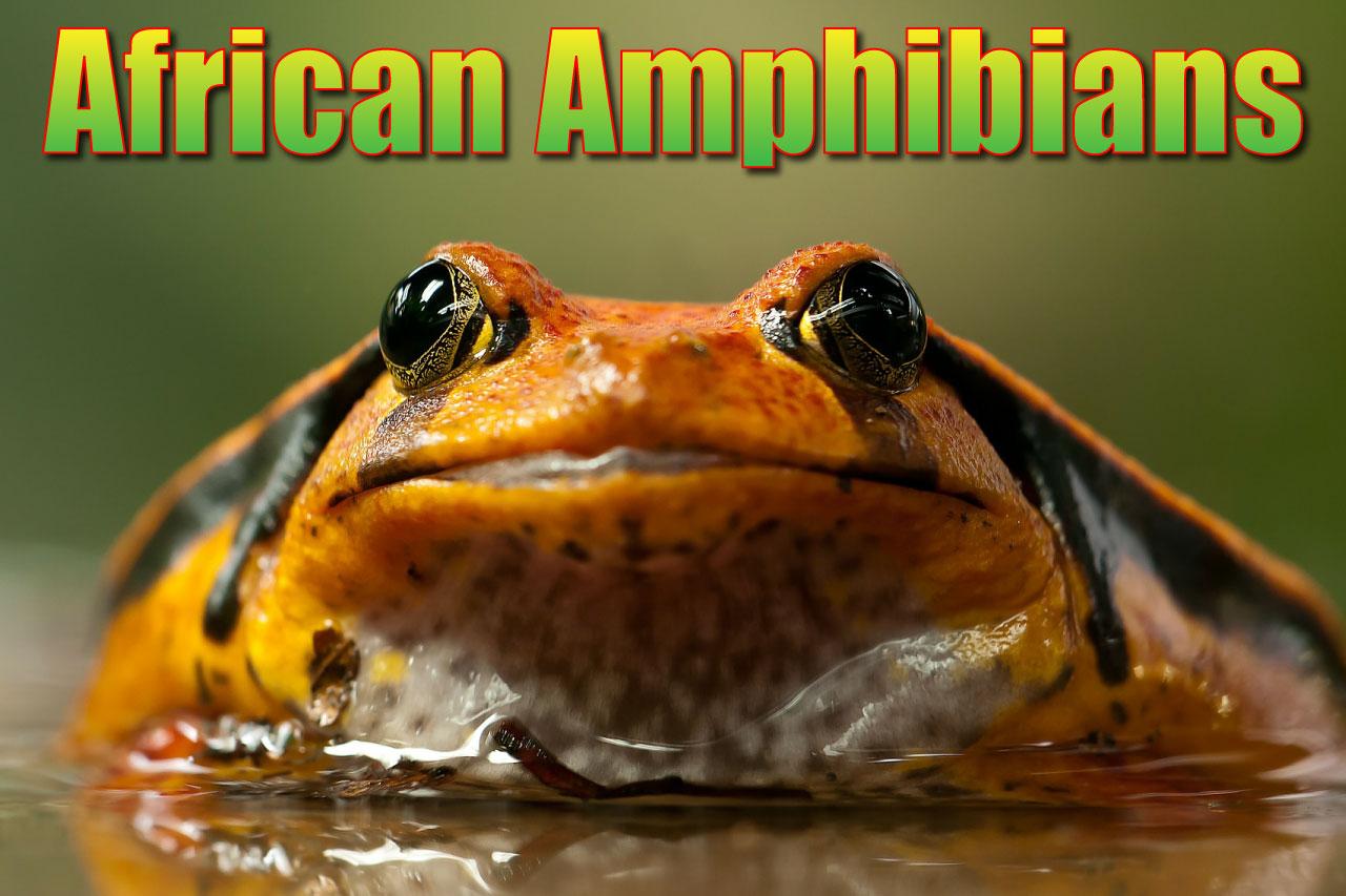 African Amphibians