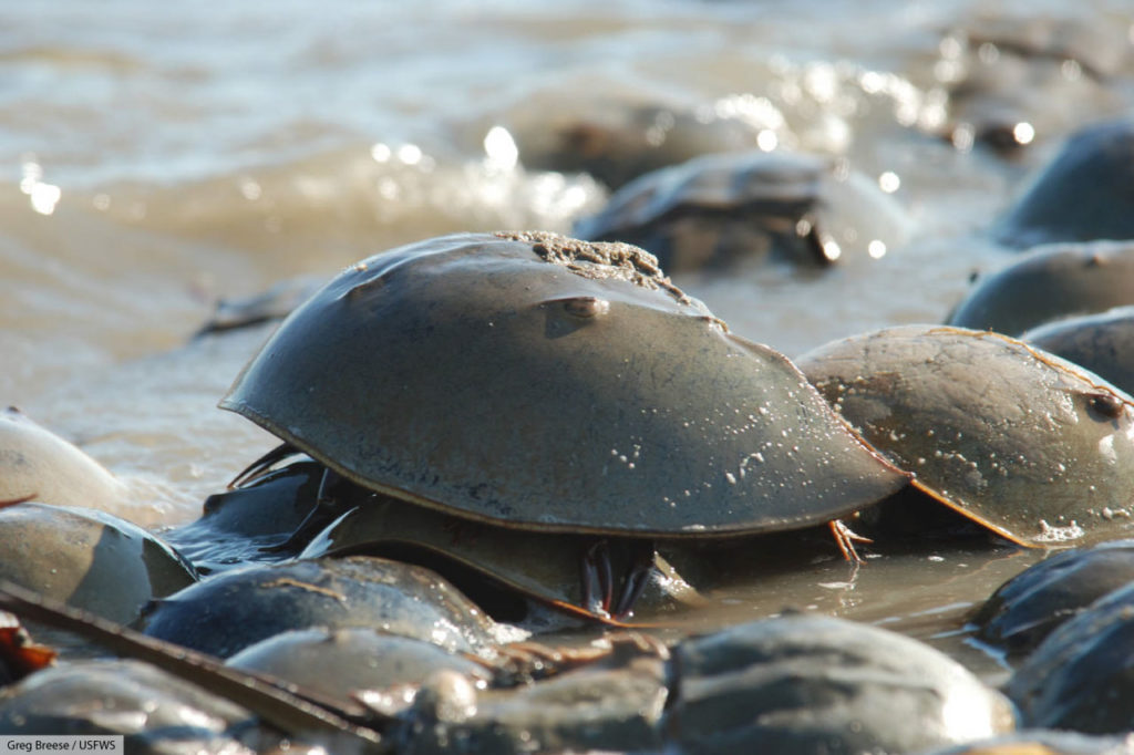 Atlantic horseshoe crabs in Delaware