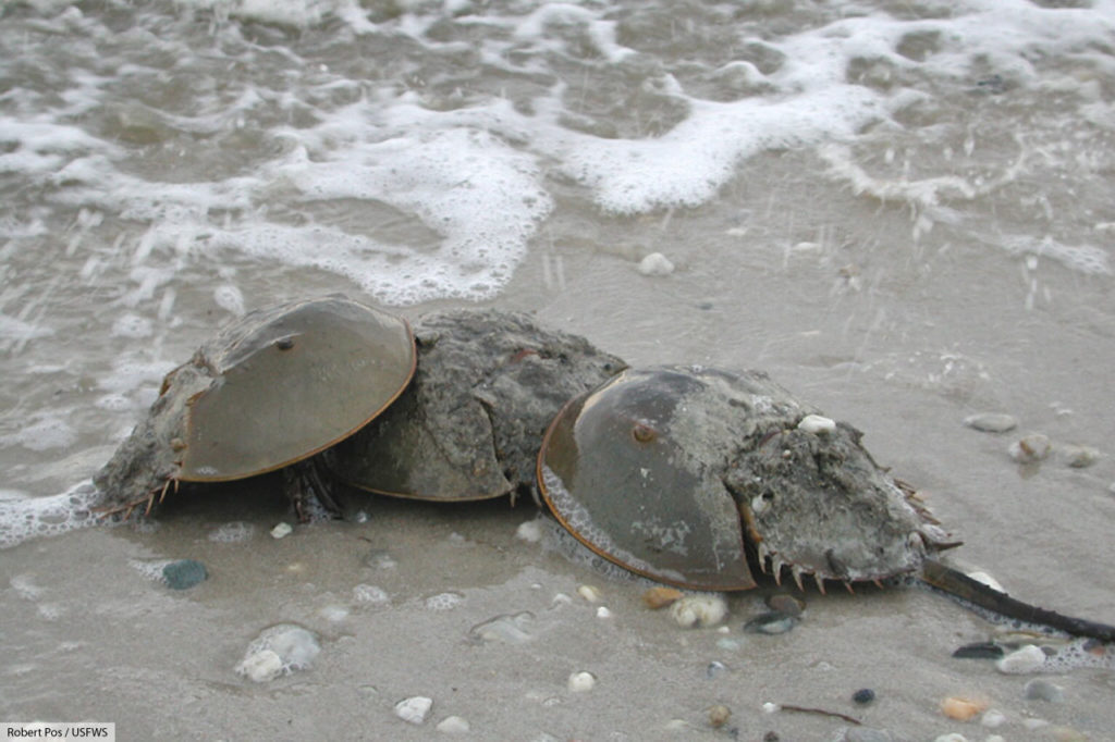 atlantic horseshoe crabs mating