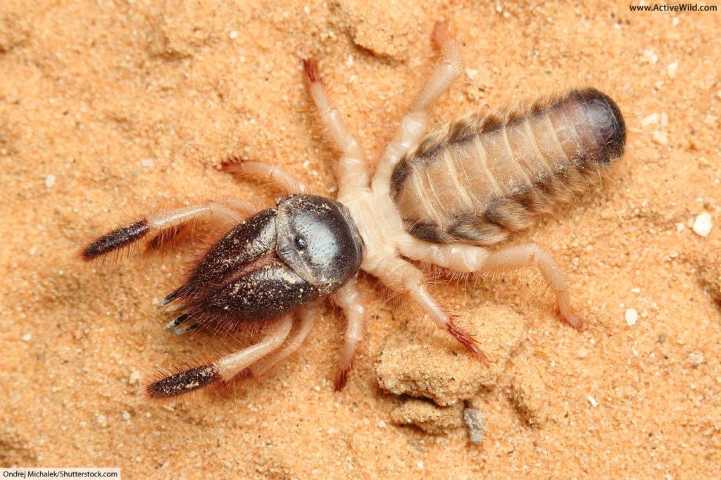 camel spider (Rhagoderma tricolor) from the Negev desert in Israel