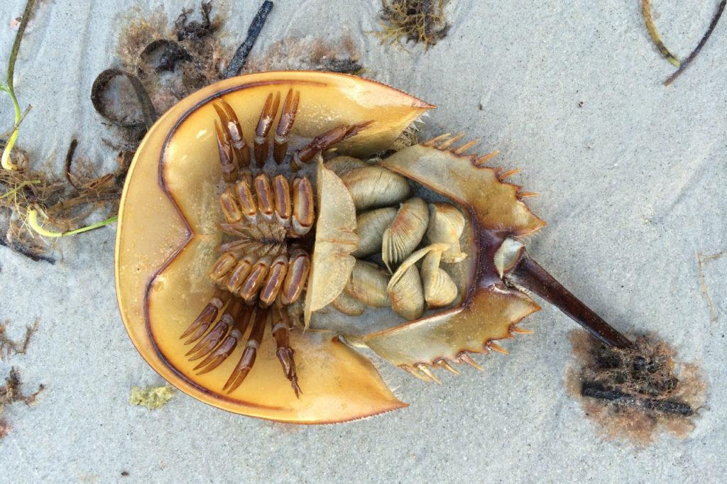 horseshoe crab underside
