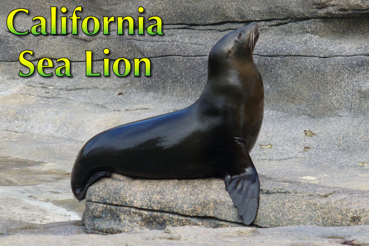 California Sea Lion Facts