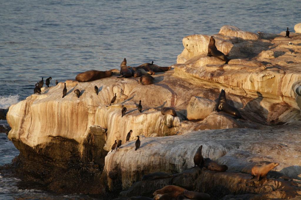 California sea lions hauled out on the coast