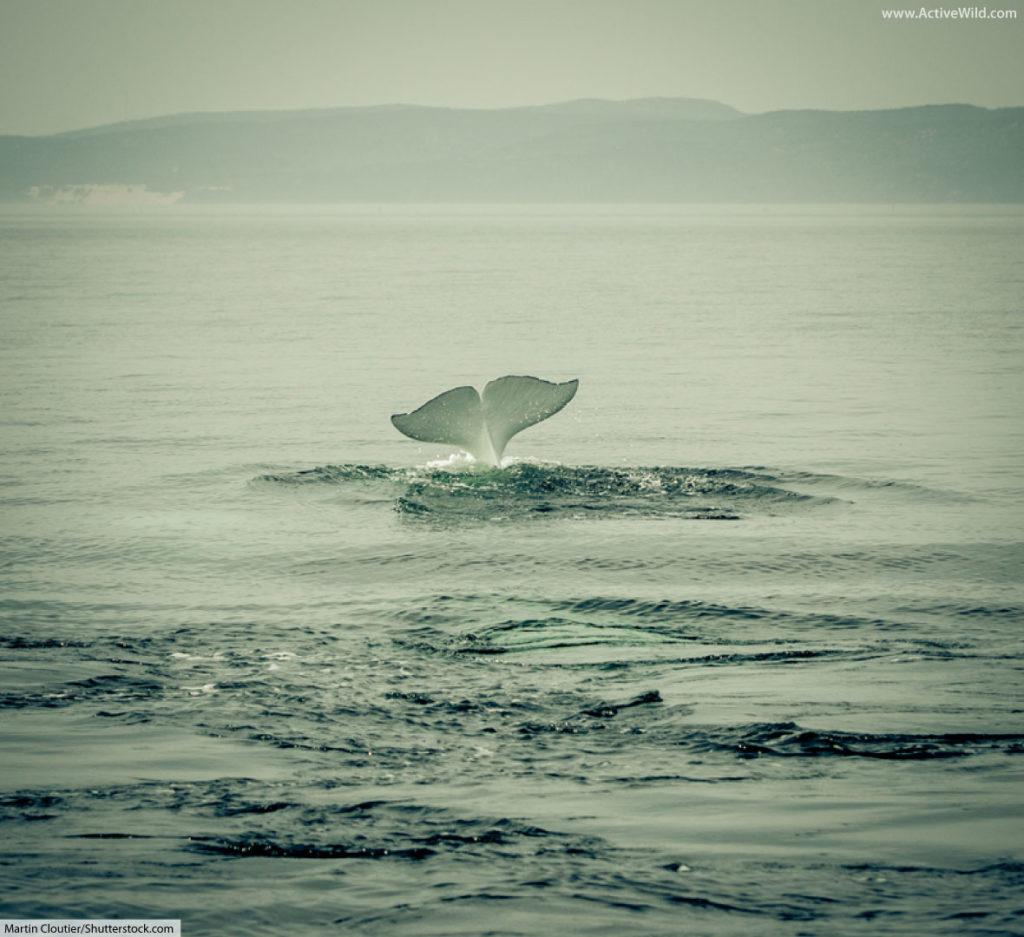 beluga whale diving