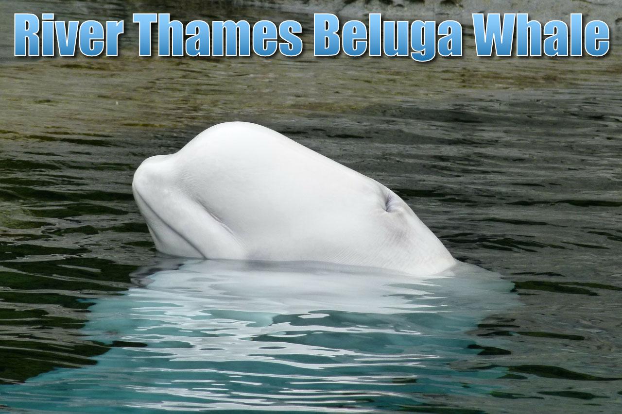 beluga whale thames