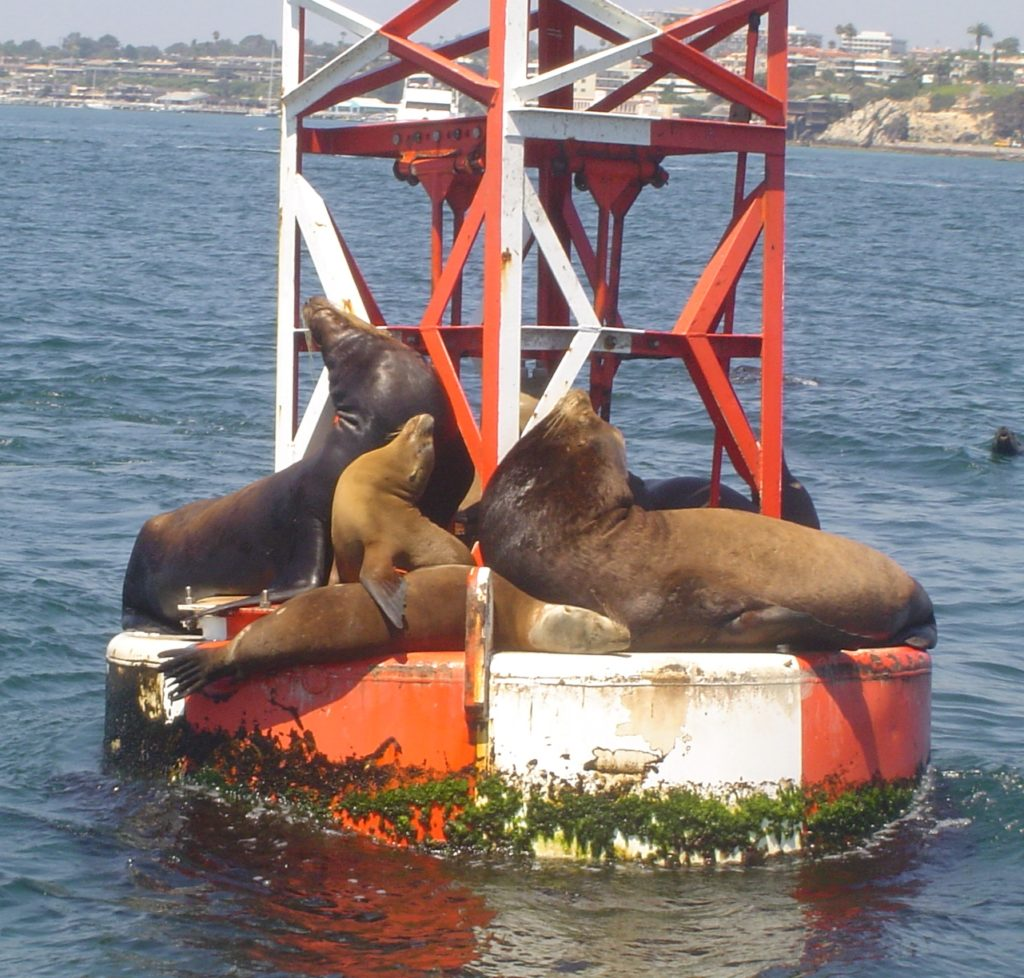 California sea lions on bout