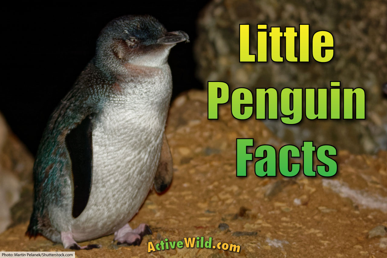 little penguin facts