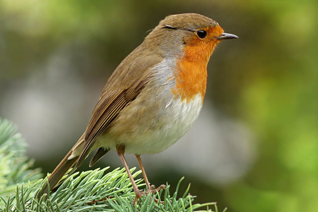 robin common british birds