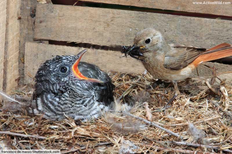 Cuckoo and redstart