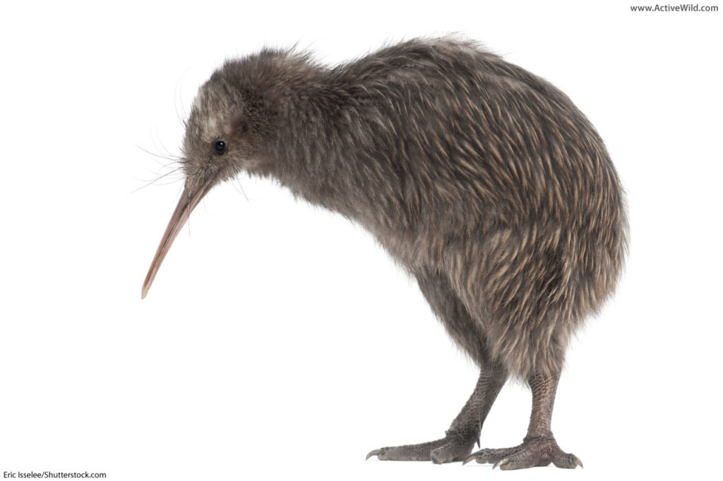 North Island brown kiwi
