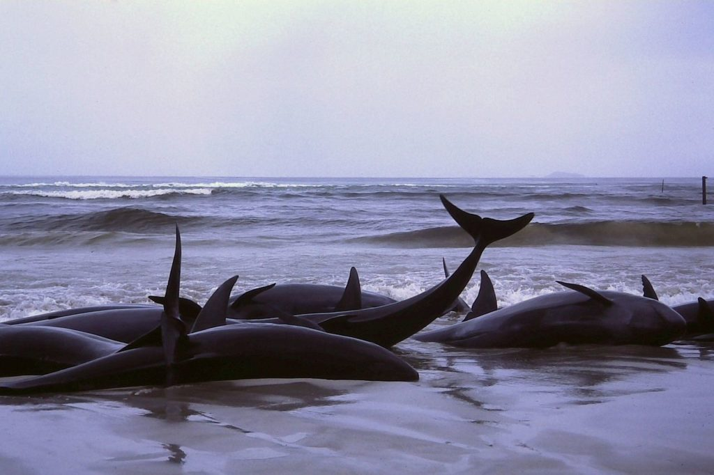 beached false killer whales