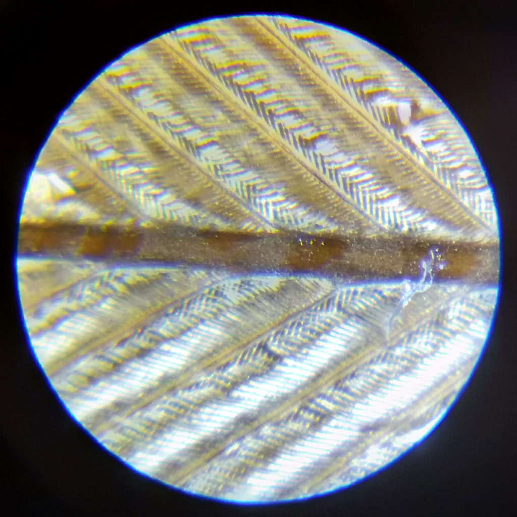 Bird feather viewed under the Carson MM-300 Pocket Microscope