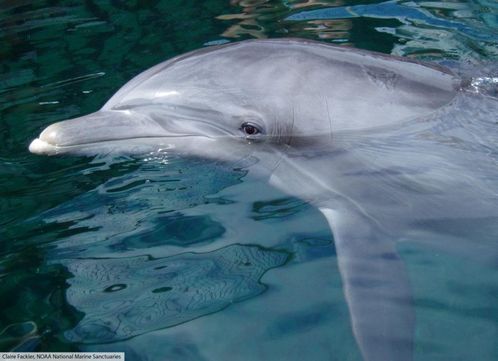 bottlenose dolphin head