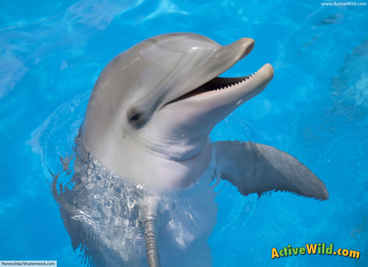 common bottlenose dolphin facts