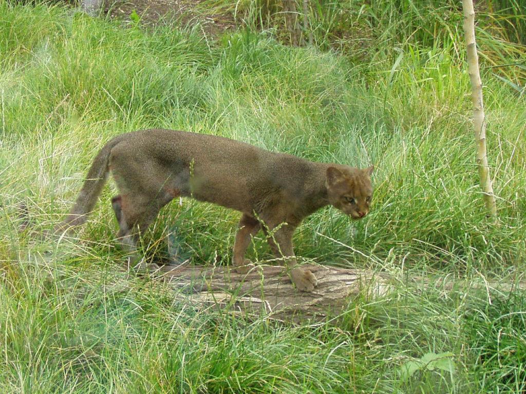 dark morph jaguarundi
