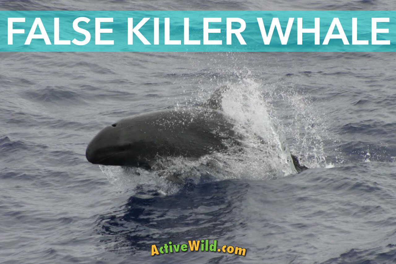 false killer whale facts